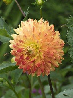Dahlias, Flowers, Nature, Summer, Bicolor, Plant