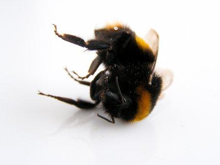 Bumblebee, Bee, Nature, Wildlife, Dead Bumblebee