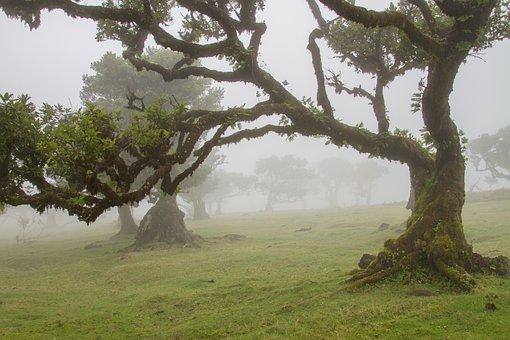 Laurel Forest, Laurel Tree, Madeira, Old Trees, Foggy