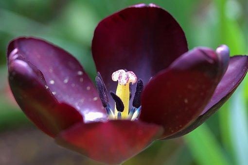 Black Tulip, Open Tulip, Pistil