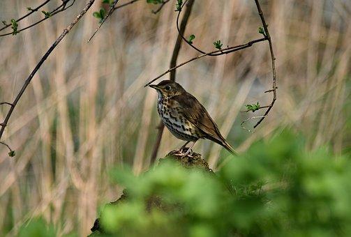 Drozd, Blackbird Singing, Bird, Nature, Pen