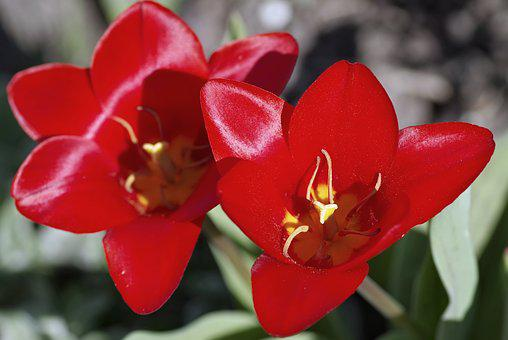 Tulip, Red, The Interior Of The, Stamens, Yellow, Shiny