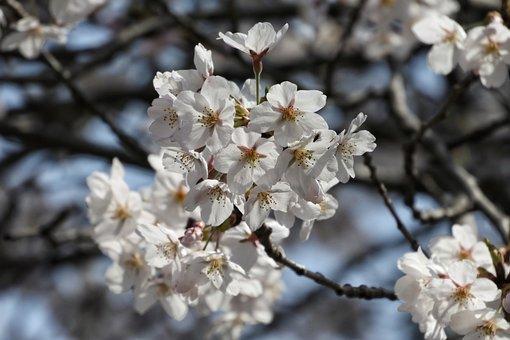 Natural, Landscape, Tree, Wood, Flowers, Cherry, Sakura