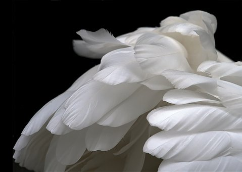 Feathers, White, Swan, Plumage, Soft, Pale, Serenity