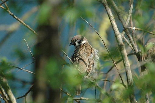 Sparrow, Sperling, Bird, Ruffled, House Sparrow