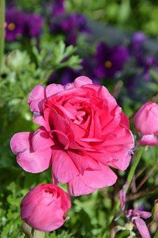 Pink Flower, Blossom, Bloom, Ranunculus, Close, Spring