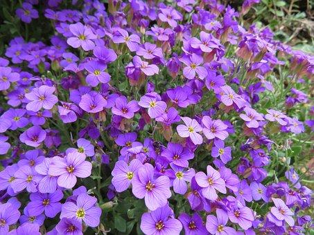 Blue Pillow, Flower, Spring, Cushion Plant, Purple