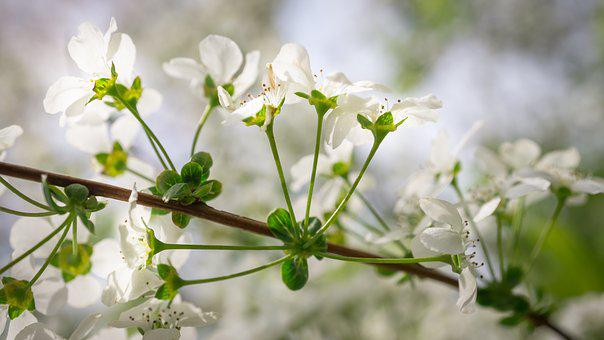 Meadowsweet Trees, Meadowsweet Flower, Flowers, Spring
