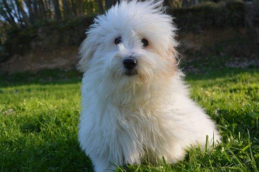 Dog, Coton De Tulear, Coat, White