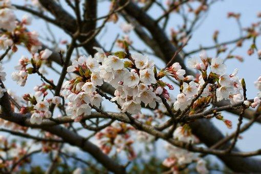 Natural, Landscape, Wood, Tree, Flowers, Cherry, Sakura