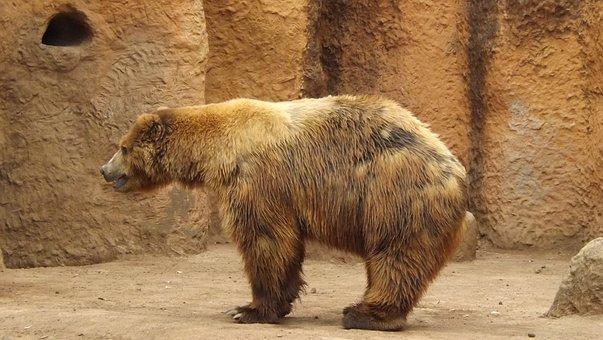 Bear, Zoo, Captivity