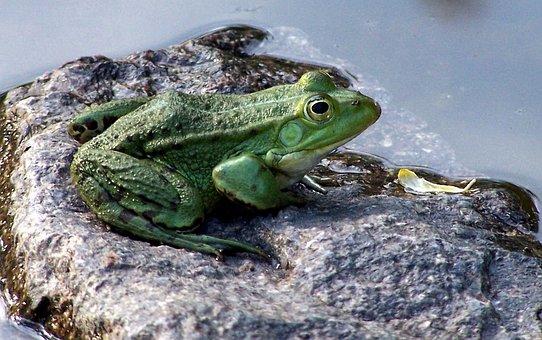 Tree Frog, In The Garden Pond, Amphibians