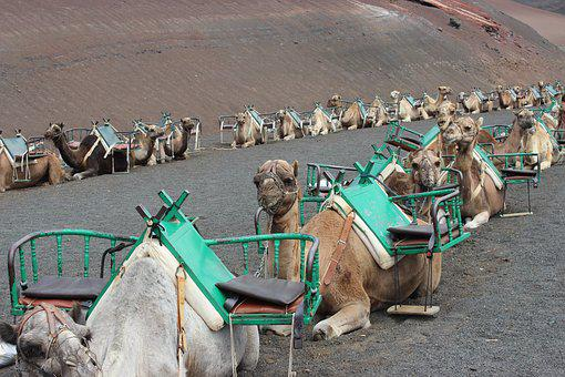 Camels, Camel Train, Morocco, Tourism, Animal, Africa
