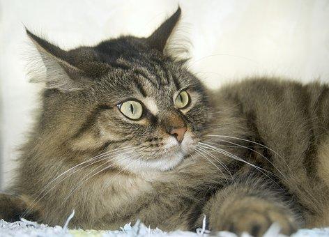 Cat, Animal, Pet, Norwegian Forest Cat, Ears, Fur