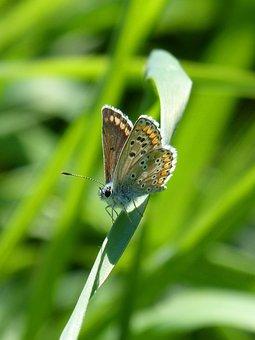 Butterfly, Brunette, Moreneta Southern, Aricia Cramera