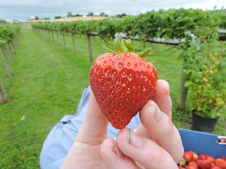 Strawberry, Picking, Berry, Ripe, Organic, Summer, Red