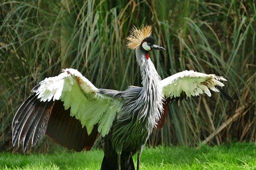 Grey Crowned Crane, Bird, Crane, Grey, Crowned