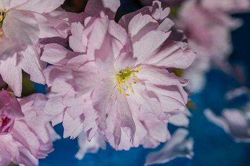 Japanese Cherry, Blossom, Bloom, Cherry Blossom, Leaves
