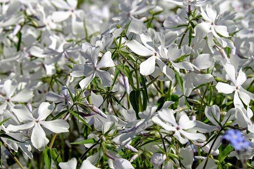 Phlox, Flower, Blossom, Bloom, Flowers, White