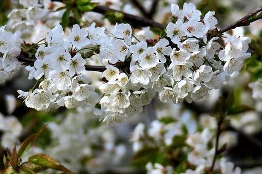 Cherry, Cherry Blossom, White Blossom, Blossoms
