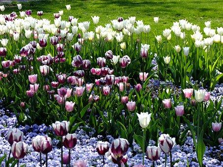 Tulips, Tulipa, Breeding Tulip, Tulpenzwiebel