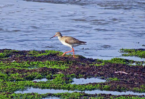Bird, Wader, Common Redshank, Simply Redshank