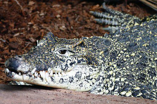 Crocodile, Alligator, Teeth, Animal, Reptile, Wildlife