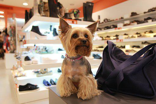 Yorkshire Terrier, Dog, Animals, Darling, Small Dog