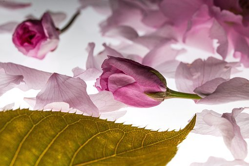 Petals, Falling, Japanese Cherry, Falling Leaves