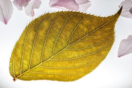 Leaf, Japanese Cherry, Falling Leaves, Blossom, Bloom