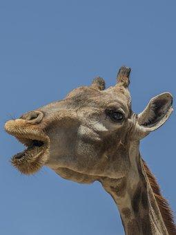 Giraffe, Horns, Ruminate, Eat, Mujir, Food