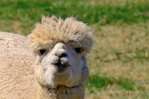 Alpaca, Fuzzy, Soft, Nature, Fur, Cute, Animal, Face