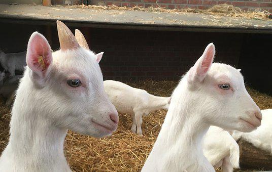 Goat, Kid, Lamb, Animal, Farm, Animal World, Cute