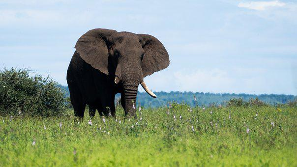 Elephant, South Africa, Pride, Grass, Green