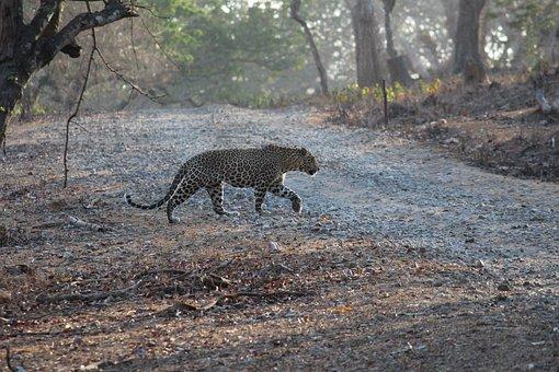 India, Leopard, Prowl, Jungle, Safari, Wildlife, Nature
