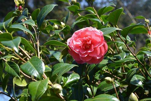 Flower, Leaves, Nature, Pink, Spring, Red Leaf, Camelia