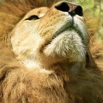 Lion, Africa, Zoo, Savannah, Feline, Animal, Animals