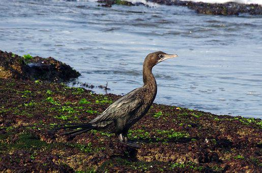 Bird, Little Cormorant, Microcarbo Niger, Seabird