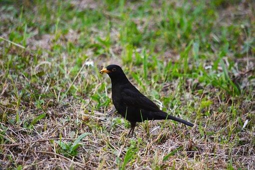 Bird, Merle, Nature, Animals, Black, Animal