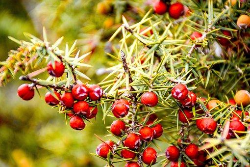 Juniper Thorn, Juniper Seeds, Forest, Nature