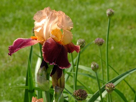 Iris, Blossom, Bloom, Nature, Flower, Ornamental Plant