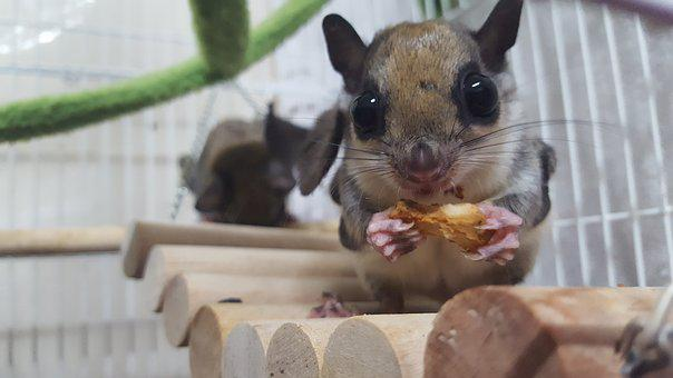 The Sky Squirrel, Flying Squirrel, Acorn, Pet, Dining