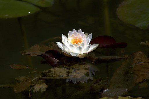 Lotus, Water Lily, Aquatic Plant, Natural, Pond, Water