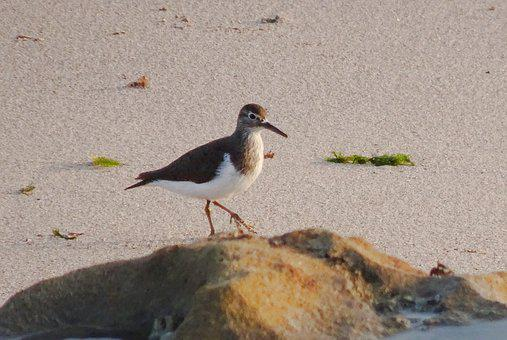 Bird, Sandpiper, Common Sandpiper, Actitis Hypoleucos