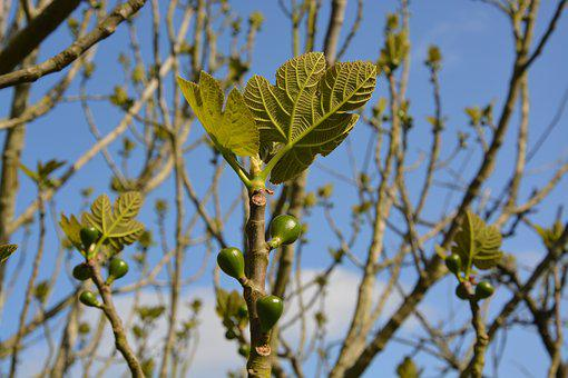 Fig Tree, Fig, Leaves, Small, Tree, Green, Fruit