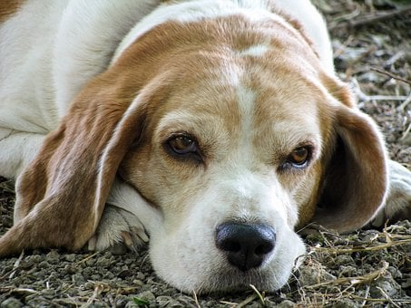 Dog, Beagle, Friend, Senior, Old, Eyes, Nose, Snuff