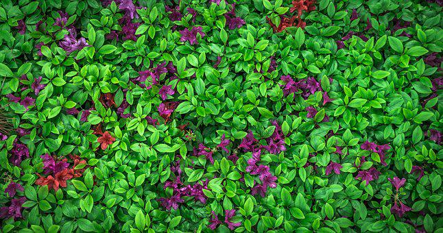 Leaf, Flowers, Nature, Garden, Plants, Azalea, Spring