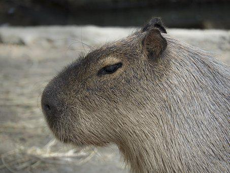 Capybara, Rodent Giant, Rodent, Giant, Take It Easy