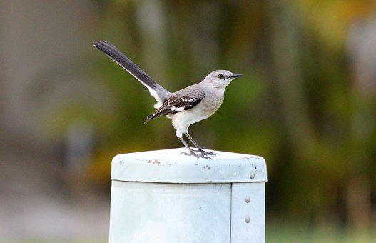 Polyphonic Mockingbird, The North American Mockingbird