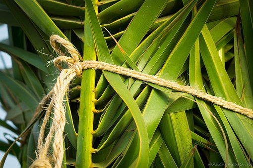 Palm Tree, Tropical, Green, Nature, Palm, Tied, Rope
